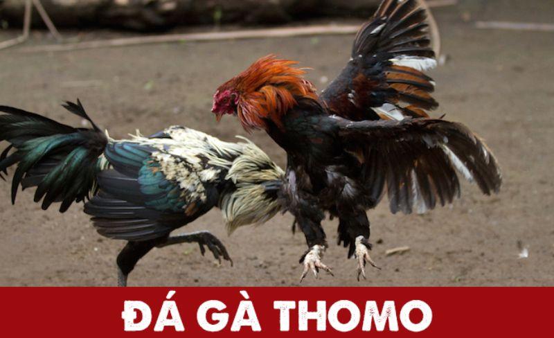 Đá gà trực tiếp Thomo là trận chiến giữa các chú gà không có dàn xếp.
