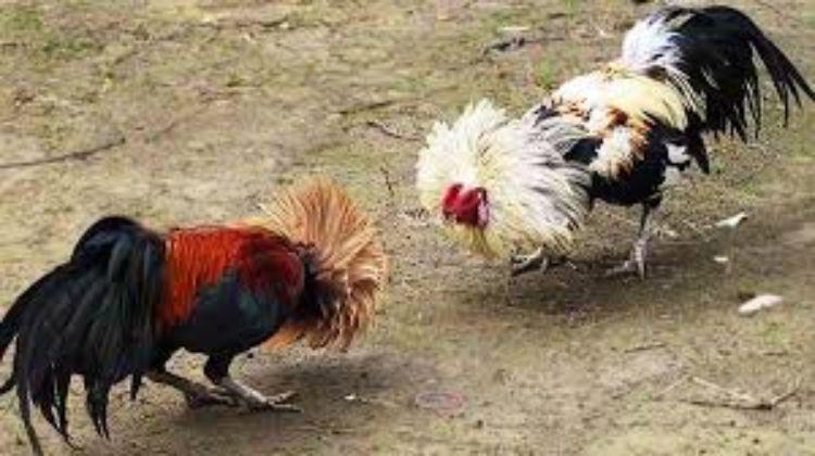 đá gà Philippines