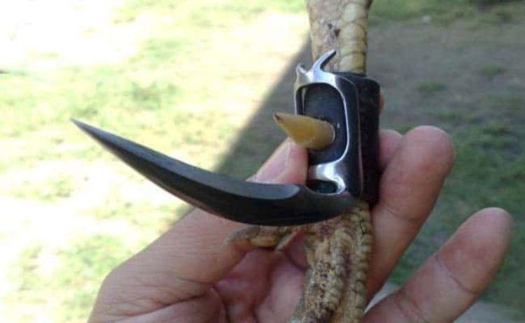 đá gà campuchia cựa dao